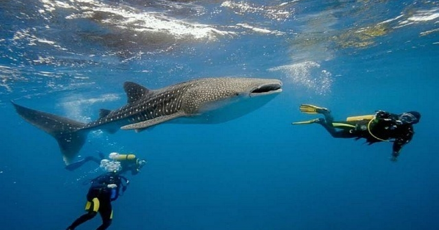 Swimming next to a whale shark, a travel idea for this winter